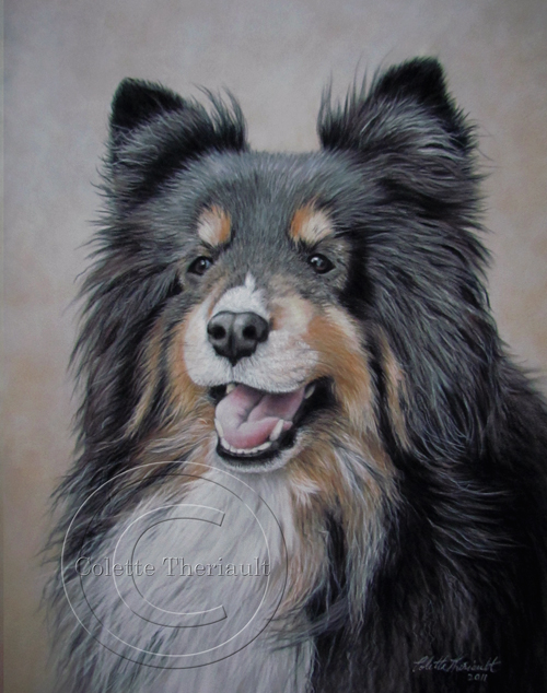 Tri-colored Shetland Sheepdog Portrait in Pastel