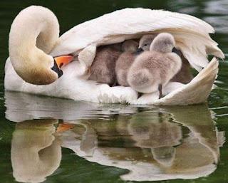 Cisne hembra protegiendo a sus crías bebés con sus alas