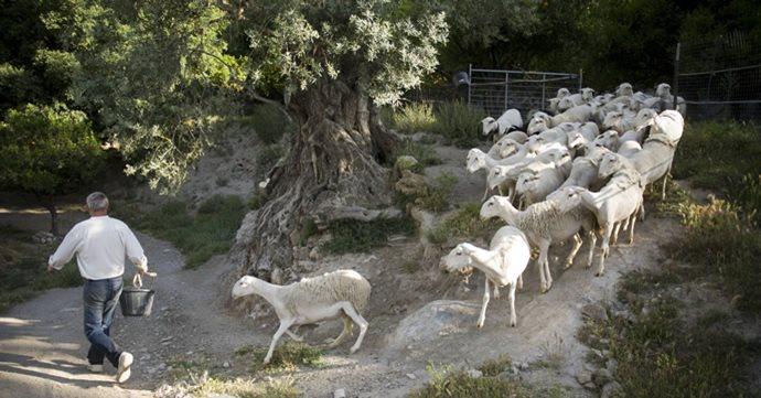 Con el rebaño de ovejas segureñas