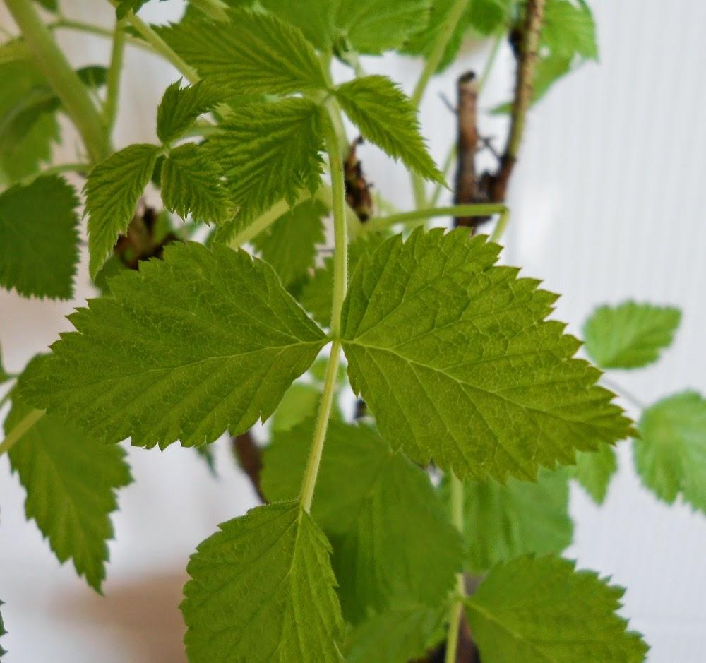 hojas de frambueso