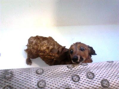 dachshund in the bath