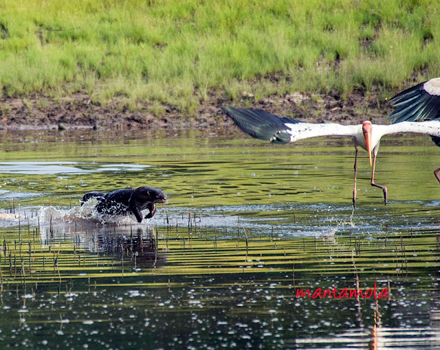 Smooth-coated otter chasing Milky Stork