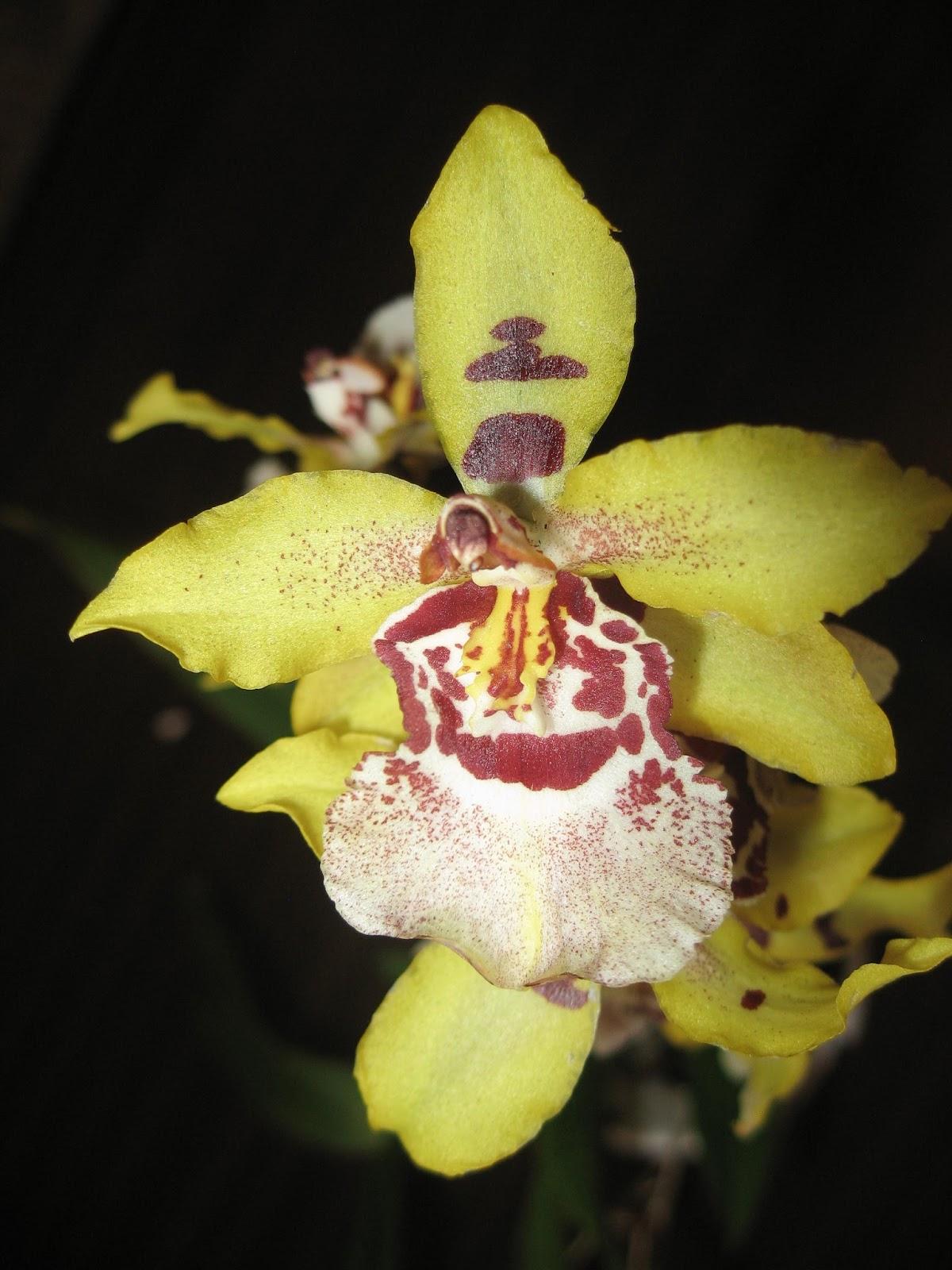 Цветок желтой камбрии