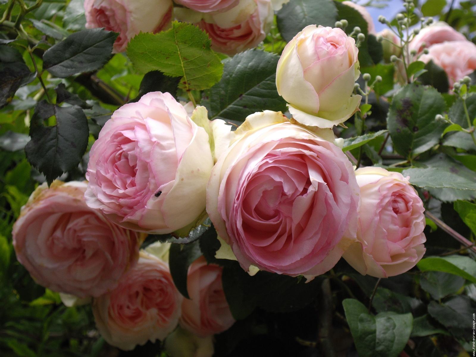 Mariajose rosa 39 pierre de ronsard for Pierre de ronsard rosa