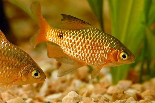 animal wildlife barb barb are a small sized group of fish that are ...