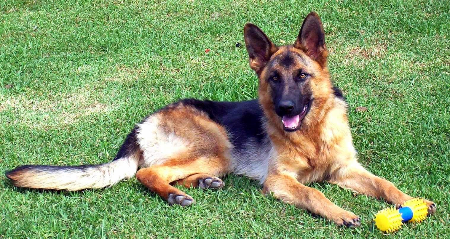 Le 10 razze canine più amate negli Stati Uniti (FOTO)