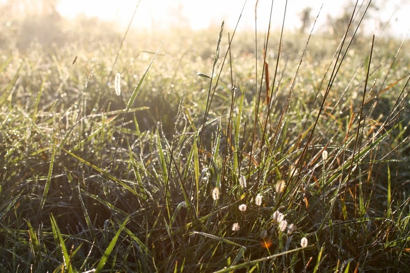 meadow grass and dew