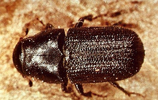 Photo of a pine beetle