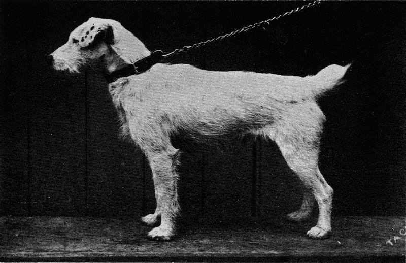 Perros Jack Russell terrier Información sobre la raza Jack  - Jack Russell Terrier Pelo Corto
