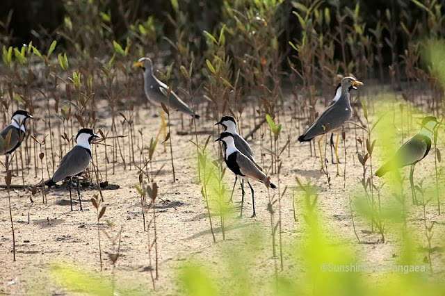 Spur-winged Lapwing and African Wattled Lapwing in Gambia