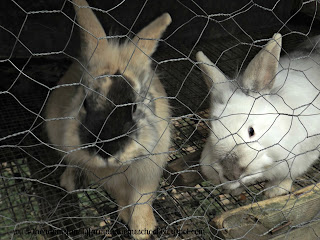 Two young buck rabbits