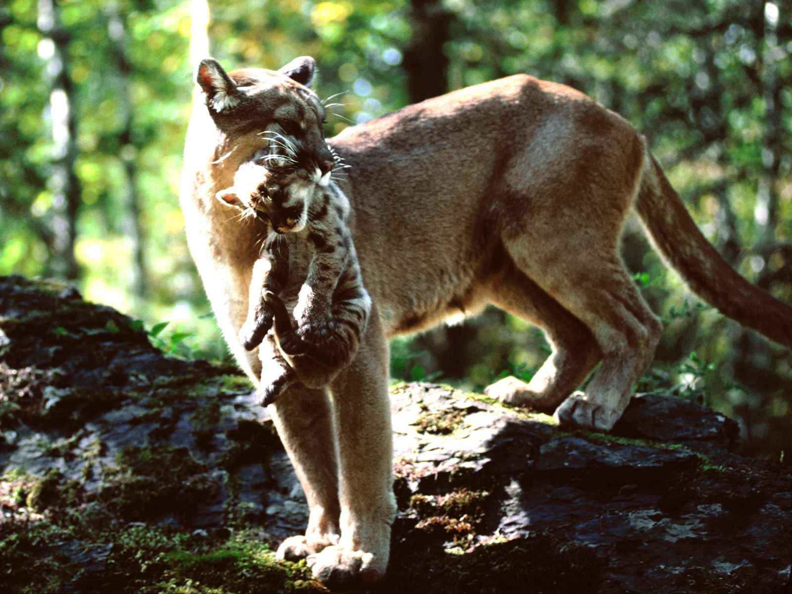 Mountain animals pictures - photo#1