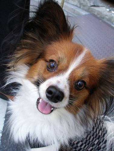 Unique animals blog top 10 small dog breeds in america with photos pics - Images de papillon ...