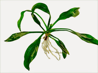 gambar-Echinodorus-Uruguayensis-tanaman-aquascape-rosette