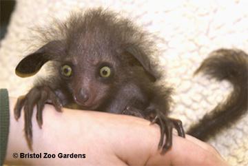 Baby aye aye lemur - photo#20
