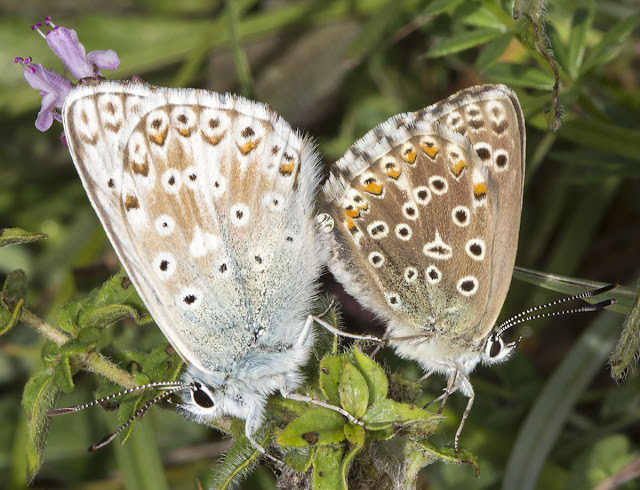 Chalkhill Blue, Lysandra coridon.  Mating pair.  3 August 2013.