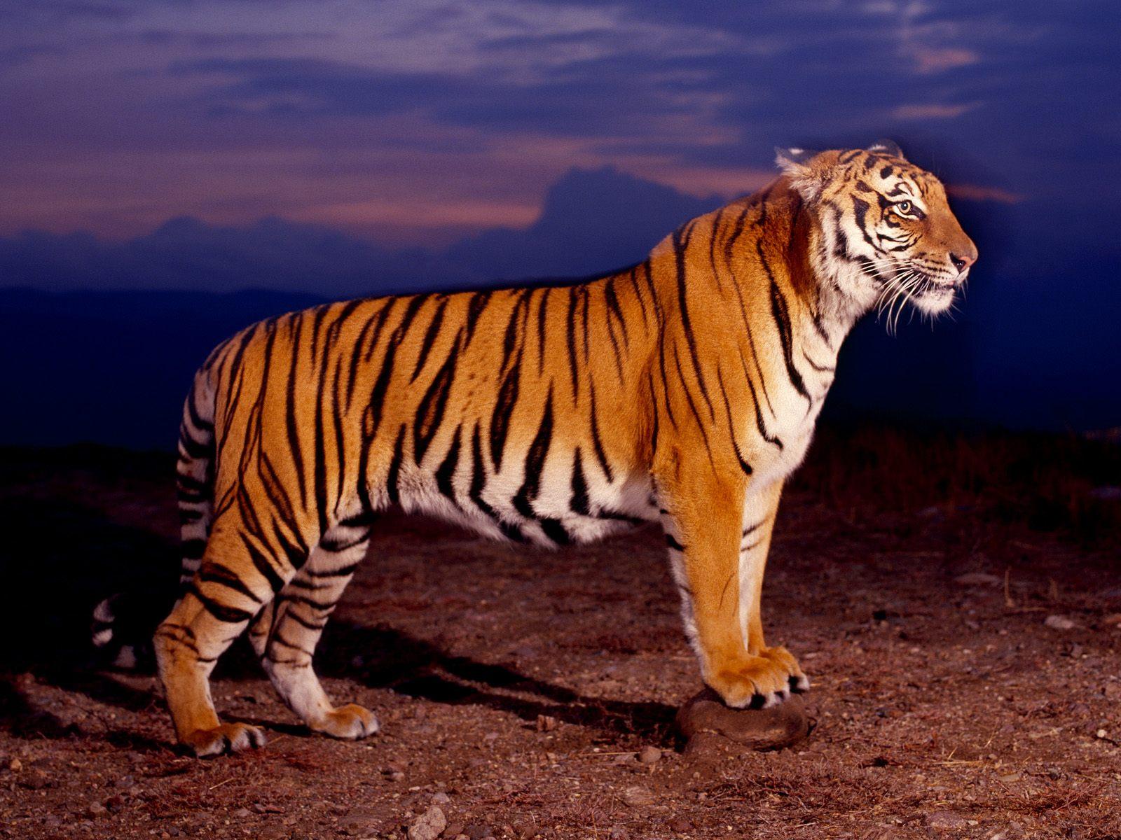 white tiger,beautiful tiger,hd tiger images,sleeping tiger high