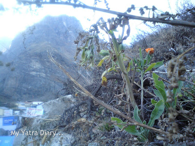 A single flower blooms in Mana Village in the Garhwal Himalayas in Uttarakhand