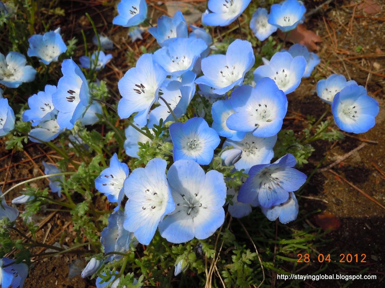 A japanese life hitachi seaside park a floral paradise izmirmasajfo
