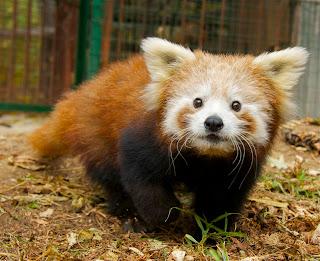 un animal par blucat trouvé par sylvie et  martin - Page 2 Panda+3