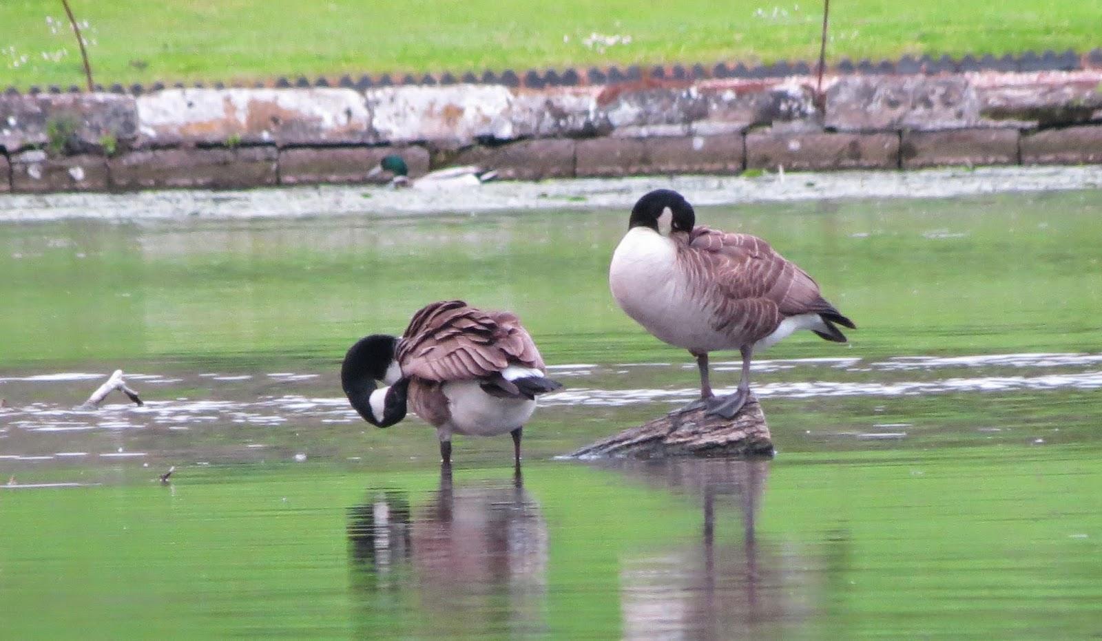 tench fishing lake geese