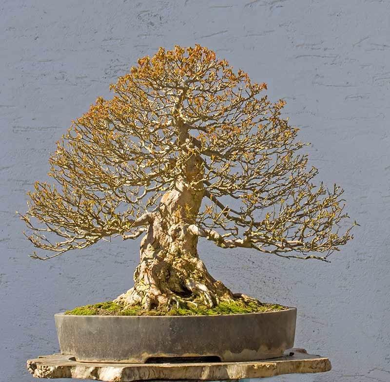 how to create bonsai tree koi fish care info Types of Deciduous Trees Sugar Maple Bonsai
