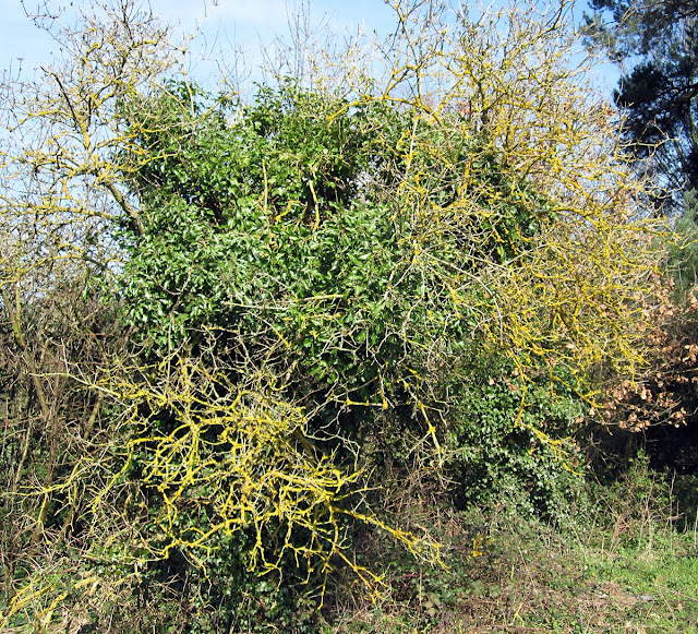 An old Elder in Jubilee Country Park covered with ivy and Xanthoria lichen