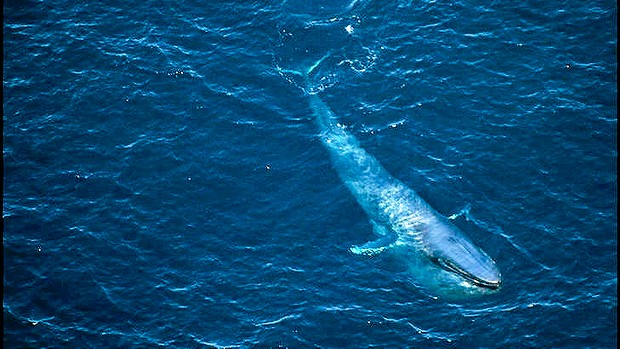 largest living creature on earth - blue whales