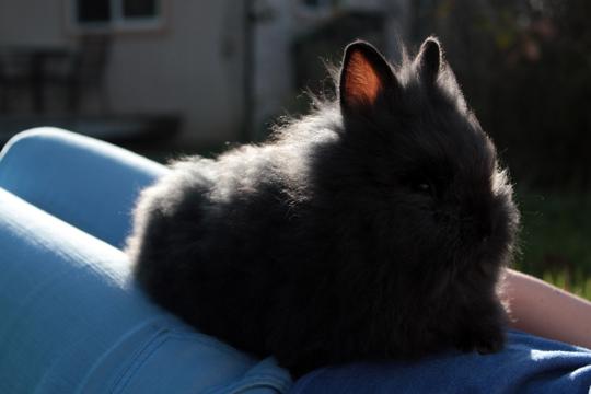 lionhead black bunny
