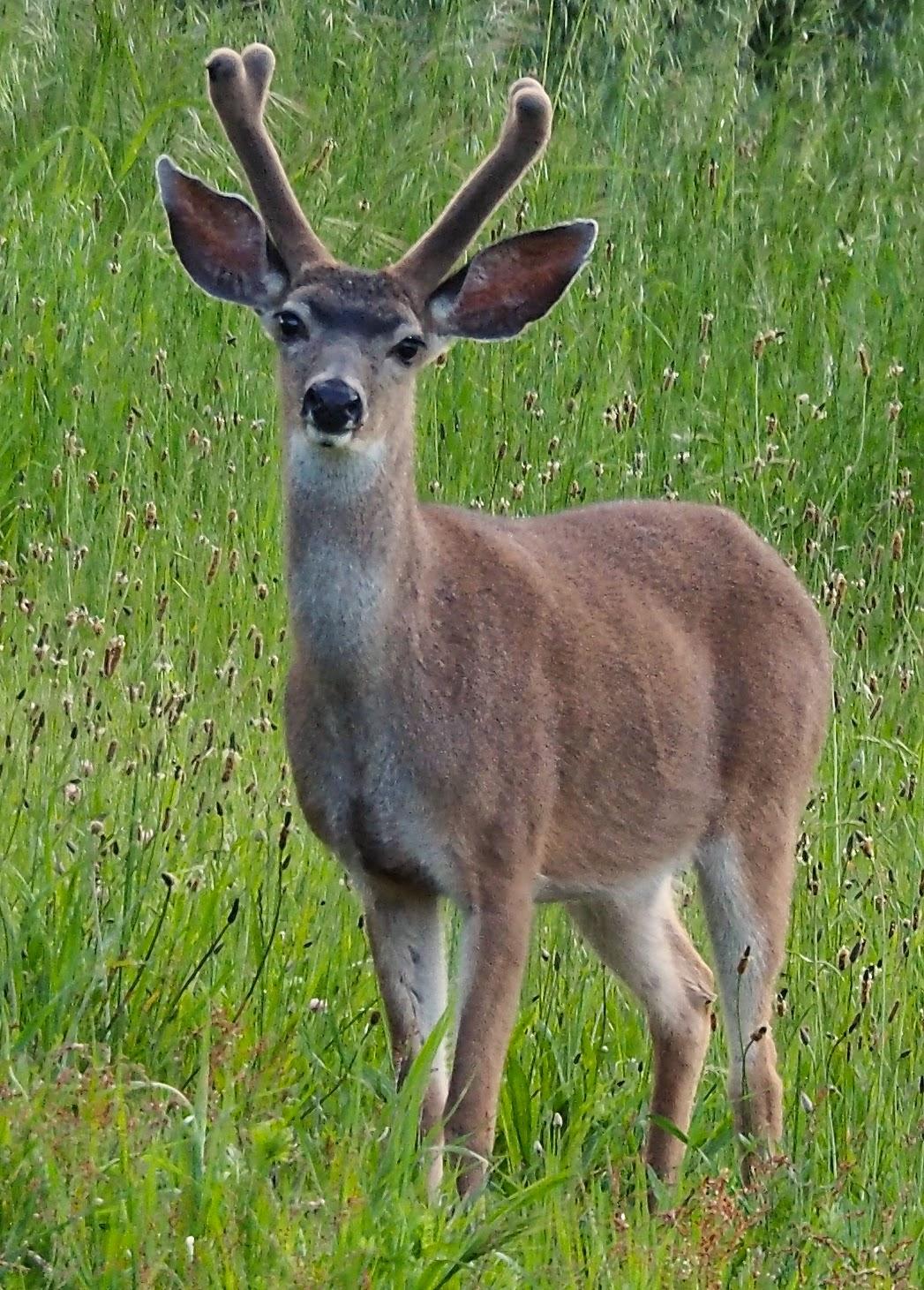 deer in our backyard life of lisa laporte