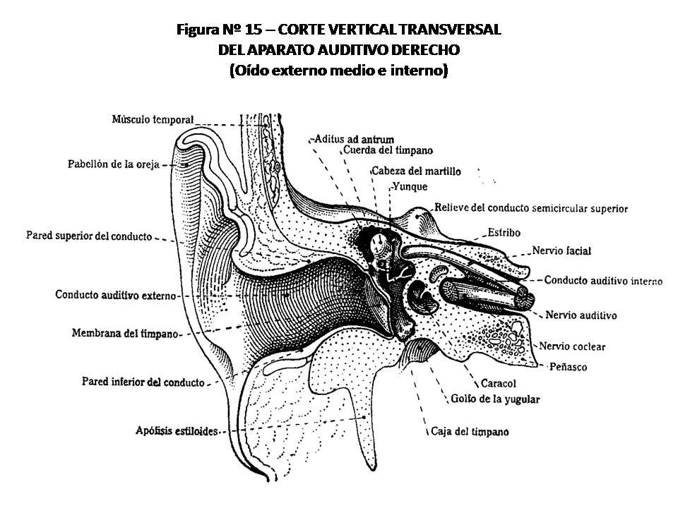 ATLAS DE ANATOMÍA HUMANA: 15. CORTE VERTICAL TRANSVERSAL DEL APARATO ...