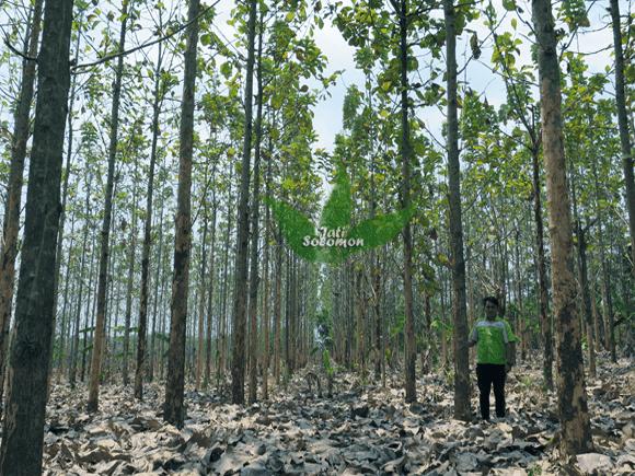 Pohon_Jati_Solomon_Umur_4_tahun_Semarang1