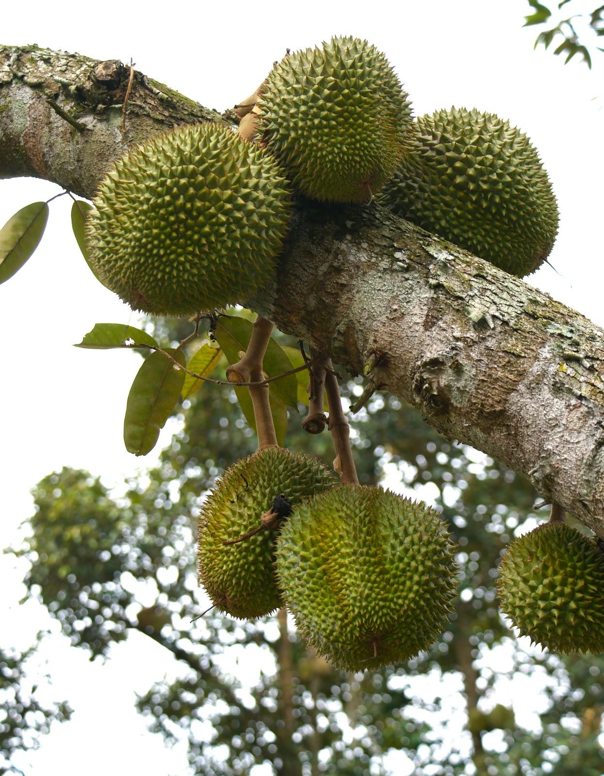 gastronaut durian pengat a little known sweetie. Black Bedroom Furniture Sets. Home Design Ideas