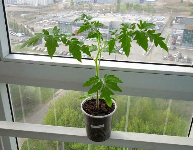 10.05 рассада помидорки подрастает