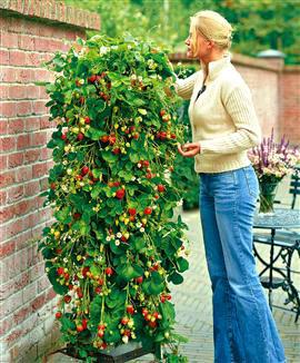 erdbeere ostara pics