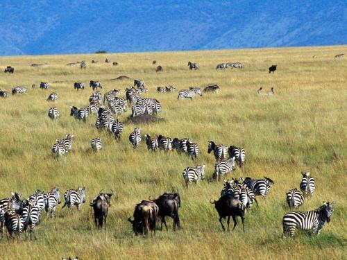 Zebras Walking Running After Sensing Danger The