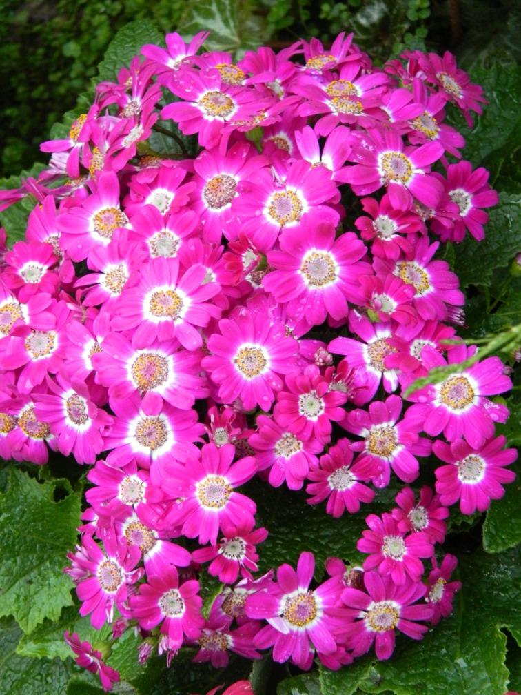 Brilliant pink cineria Allan Gardens Conservatory Spring Flower Show 2013 by garden muses: a Toronto gardening blog