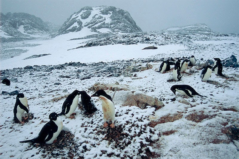 African penguins have lived on Boulders beach since 1982, and the ...
