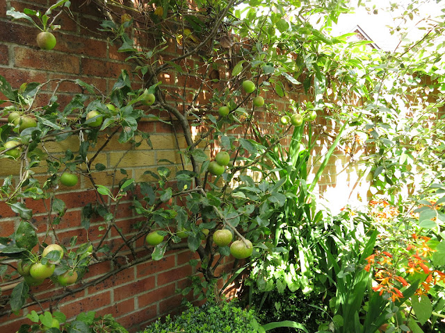 Espaliered Apple against garden wall