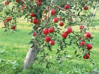яблоня не плодоносит: что делать