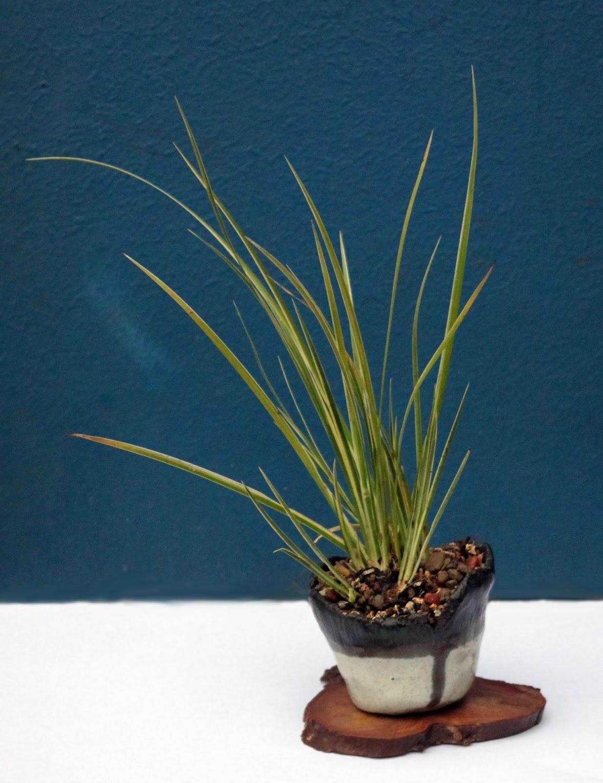 Yamadori art uk ostranica bonsai pots for Unusual bonsai creations
