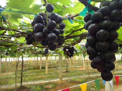 http://1.bp.blogspot.com/-YJjP7k42sxA/TZLhxDr26EI/AAAAAAAAAt4/g4bD7TI3dz0/s1600/anggur+1.JPG