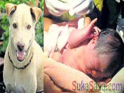 Anjing PIntar Menjadi Penyelamat Bagi Sang Bayi