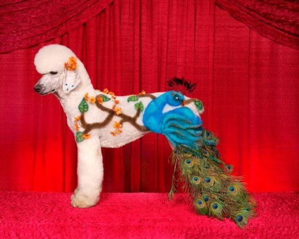 Ren Netherland fotografia animais estimação cães cachorros extreme pets fantasia Pavão