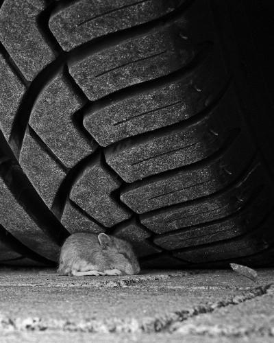 Mus 'selvmord' under lastbil-dæk