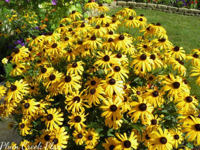 black eyed susan, patio flower garden