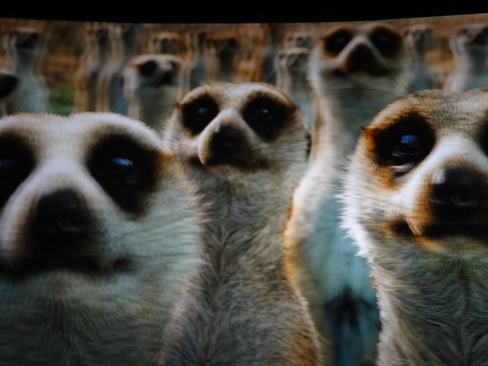 Meerkats life of pi - photo#10