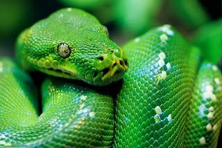 ular sanca hijau