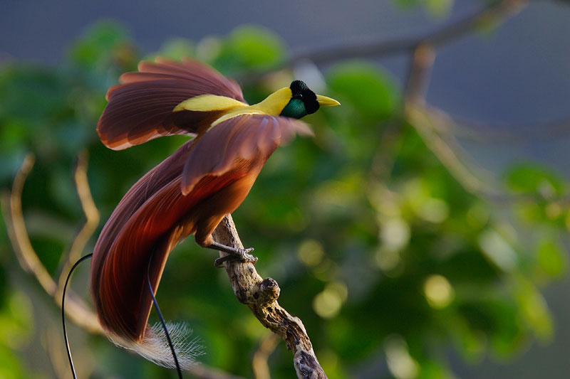 The red bird of paradise
