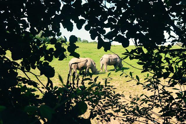 Manor Park Anna's Welsh Zoo Rhino